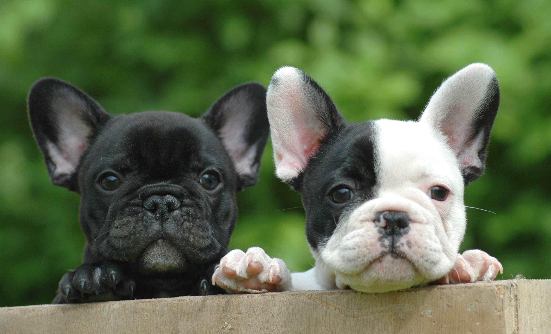 bulldog francais