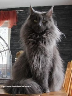 cat gris