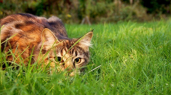 chat de chasse