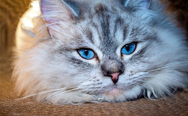 sibérien chat